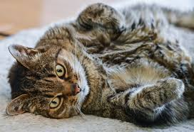 renal failure in cats what you need to about cats and kidney disease just cats clinic