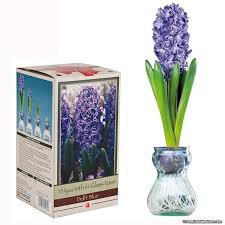 blue hyacinth in glass vase american