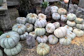 Cinderella Pumpkin Seeds Australia by The Ultimate Guide To Pumpkin Types And Varieties