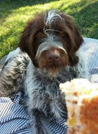 Griffon German Wirehaired Pointer Shedding by Wirehaired Pointing Griffon Griffs U0026 Havanese Mix Pinterest