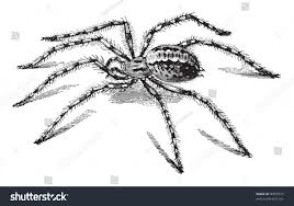 Barn Funnel Weaver Spider Domestic House Stock Vector 96055577 ... Id This Black Spider Arachnoboards Furrow Spider Larinioides Cornutus North American Insects Specsview Funnel Weavers Family Agelenidae Spidersrule Barn Free Image Peakpx Tegenaria Domestica Wikipedia Barn Funnel Weaver These Spiders Are Flickr 3 Also Known As Th Basilica Orb Weaver Washington Maryland Biodiversity Project