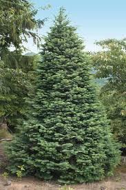 Nordmann Fir Christmas Trees Wholesale by Bear Canyon Tree Farm Varieties Species U0026 Availability