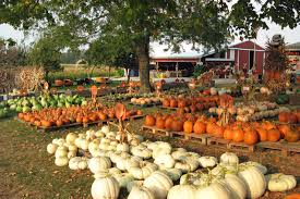 Pick Of The Patch Pumpkins Concord by Just Grand Pumpkins Galore