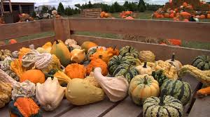 Pumpkin Picking Ridge Ny by Nj Farms Attract Tourists With Corn Mazes Pumpkin Picking