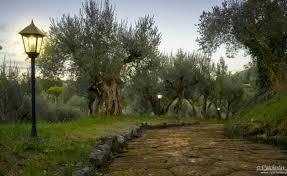 Olive Gardens In Italy