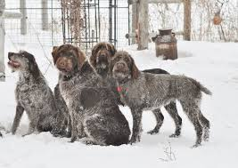 Griffon German Wirehaired Pointer Shedding by Idaho Outback Wire Haired Pointing Griffons Puppies Soon