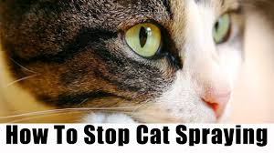 cat stop cat spraying no more review stop your cat from everywhere