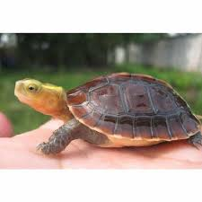 Flukers Turtle Clamp Lamp by Chinese Box Turtle For Sale Online Chinese Box Turtles For Sale