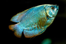 Is Your Gourami Male Or Female