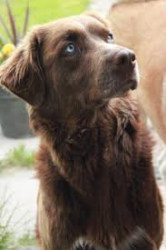 Chesapeake Bay Retriever Vs Lab Shedding by Best 25 Labrador Dog Breed Ideas On Pinterest Labrador Puppies