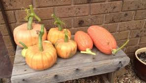Largest Pumpkin Ever Grown 2015 by Growing Queensland Blue Pumpkins Winter Squash The Greening Of