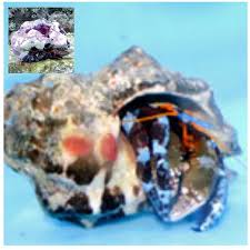 Halloween Hermit Crab Care by Electric Blue Halloween Hermit Crab Calcinus Elegans