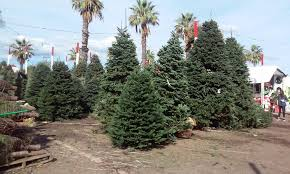 Silver Tip Christmas Tree Los Angeles by Where You Can Buy Christmas Trees In Los Angeles