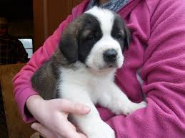 Do Smooth Coat St Bernards Shed by Litter Of 9 Saint Bernard Puppies For Sale In Medina Oh Adn