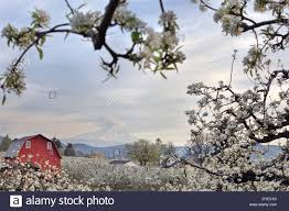 Pear Tree Orchard With Red Barn And Mount Hood In Hood River ... Rustic Autumn Wedding Weston Red Barn Farm In Kc Mo Mini Shop Cellar Orchard Wood Shed All On And Stock Photo Image 59789270 Minnesota Harvest Apple Weddingreception Venue The At Gibbet Hill Pictures From The Orchard Weve Got Your Favorite Review Of Park Na Usa Oregon Hood River County Barn Pear Building And Golden Ears Coast Mountains Fall Landscape Unique Bolton Ma A Red Schartner Massachusetts Best Horse Designs Hardscape Design