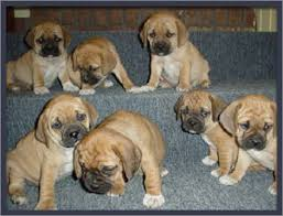 Do Pugs And Puggles Shed by Small Dogs That Guys Can Have But Not Be Called A Puggles