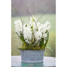 hyacinth white pearl for forcing