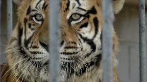 More Legal Troubles For 'Tony' The Truck-Stop Tiger