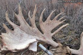 Moose Shedding Their Antlers by A Record Breaking Alaskan Bull Moose Harvesting A Giant In