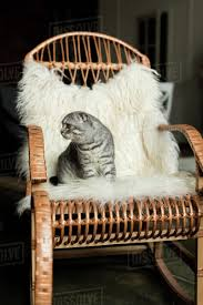 Fluffy Scottish Fold Cat Sitting On Rocking Chair With Woolly Blanket Stock  Photo
