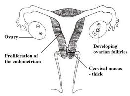 Thick Uterine Lining Shedding During Period by Events In The Uterus U0026 Ovary In The Cycle What The Woman Observes