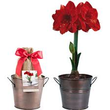 indoor flower bulbs amaryllis paperwhites kits american