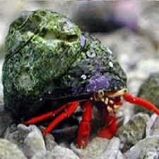 Decorator Crab Tank Mates by Scca Ecologically Responsible Aquarium Invertebrate Choices
