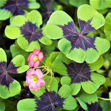 oxalis bulbs flowering shamrocks bloom indoors or out easy to