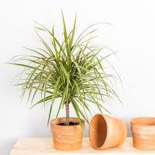 der drachenbaum wie sie die beliebte zimmerpflanze pflegen