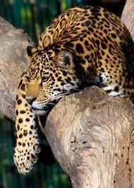 Best 25 Jaguar habitat ideas on Pinterest