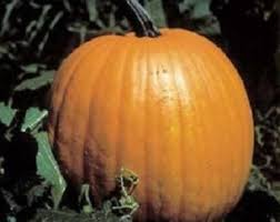 Connecticut Field Pumpkin For Pies by Pumpkin Seeds Etsy