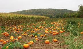 Pumpkin Patch Columbus Ga by Pick A Pumpkin Pumpkin Patch In Esperance Ny Groupon