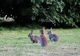 Can Bunny Rabbits Eat Pumpkin Seeds by Rabbits How To Identify And Get Rid Of Rabbits Garden Pest