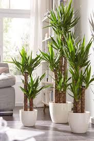 baum pflanzen drachenbaum zimmerpflanzen