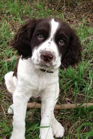 Springer Spaniel Puppy just what belle looked like as a puppy ughhh I need one