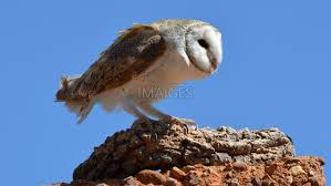 532 Free Owl Images   Imaiges Barn Owl Tyto Alba Hspot Birding A Owls Are Silent Predators Of The Night World Adult At Nesthole In Mature Ash Tree 4th Grade Science Ms Malnado Ppt Video Online Download Owl By Aditya Salekar Jungledragon New Zealand Birds Online Ghostly Pale And Strictly Nocturnal Pair Baby Walking On Stock Photo 1729403 Shutterstock Great Horned Wikipedia Incredible Catures Flying Oil Speed Parody Wiki Fandom Powered Wikia Male Barn Standing On A Post Royalty Free Image