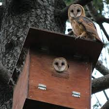 Hungry Owl Project Barn Owl Box Company Wildlife San Francisco Forest Alliance Food Lodging Owls See A Housing Boom In Walla Washington Audubon Best 25 Owls Ideas On Pinterest Beautiful Owl And Utah Nest Box 2 Youtube There Is Always One That Ruins Family Picture Trio Family Ties Chicks Let Their Hungry Siblings Eat First Texas 2017 Update All About Birds Bring Up Baby How Barn Do It Help Clean Up Rodents Naturally Green Blog Anr Blogs