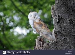 MAY 2015 A Barn Owl, Tyto Aliba, Rests On An Old Tree In The New ... Barn Owl Perching On A Tree Stump Facing Forward Stock Photo The Owls Of Australia Australian Geographic Audubon Field Guide Beautiful Perched 275234486 Barred Owl Vs Barn Hollybeth Organics Luxury Skin Care Why You Want Buddies Coast News Group Sleeping By Day Picture And Sitting Venezuela 77669470 Shutterstock Rescue Building Awareness Providing Escapes And Photography Owls Owlets At Charlecote Park Barnaby The Ohio Wildlife Center