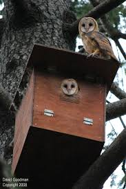 Barn Owl Boxes — Hungry Owl Project Common Barnowl Tyto Alba Two Juvenile Common Barn Owls At The Pramo Clothing Owling In Owls Glenn County Resource Cservation District Barn Owl Nest Box Nhbs Wildlife Shop Gardening For Birds All About Nesting Logs And Boxes Hecker Nursery Triangular Girl Scout Gold Award Benefits Birds Burroughs Audubon Society Boxes Hungry Project Bbook Mount Gravatt Environment Group Wiggly Wigglers Duhallow Raptor Plans Vip