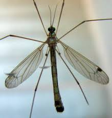 Backyard Critter Watch: Mosquito Eaters, Aka Crane Flies 7 Tips For Fabulous Backyard Parties Party Time And 100 Flies In Get Rid Of Best 25 How To Control In Your Home Yard Yellow Fly Identify Of Plants That Repel Flies Ideas On Pinterest Bug Ants Mice Spiders Longlegged Beyond Deer Fly Control Pest Chemicals 8008777290 A Us Flag Flew Iraq Now The Backyard Jim Jar O Backyard Chickens To Kill Mosquitoes Mosquito Treatment Picture On And Fascating
