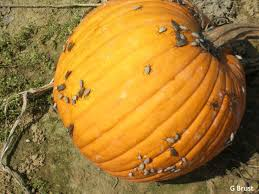 Types Of Pumpkins And Squash by High Tunnel Weekly Crop Update