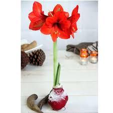 amaryllis bulb amaryllis size comparison holding in amaryllis
