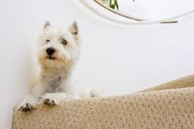 Dog Hair Carpet Removal by How To Get Dog Hair Out Of Your Carpet Hubpages