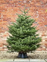 Nordmann Fir Christmas Tree Seedlings by 16 Best City Floral Christmas Tree Varieties Images On Pinterest