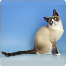 snowshoe cat snowshoe cat cat breeds purina australia