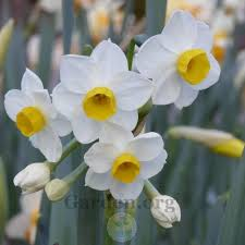 daffodils plant care and collection of varieties garden org