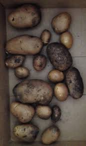 Potato/Potahto: Growing Potatoes In The Backyard | Dirty Words Garden Texas Garden The Fervent Gardener How Many Potatoes Per Plant Having A Good Harvest Dec 2017 To Grow Your Own Backyard 17 Best Images About Big Green Egg On Pinterest Pork Grilled Red Party Tuned Up Want Organic In Just 35 Vegan Mashed Potatoes Triple Mash Mashed Pumpkin Cinnamon Bacon Sweet Gardening Seminole Pumpkins And Sweet From My Backyard Potato Salad Recipe Taste Of Home