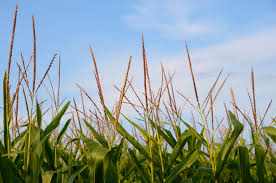Corn Prices Continue Lower And Cattle Prices Higher