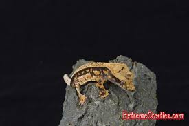 Extreme Halloween Crested Gecko by Phantom Pinstripe Crested Geckos For Sale Morphmarket Usa