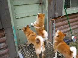 Do Shiba Dogs Shed by Shiba Inu Hokusei Kashinoki Shiba And Hokkaido Ken 北西樫ノ木